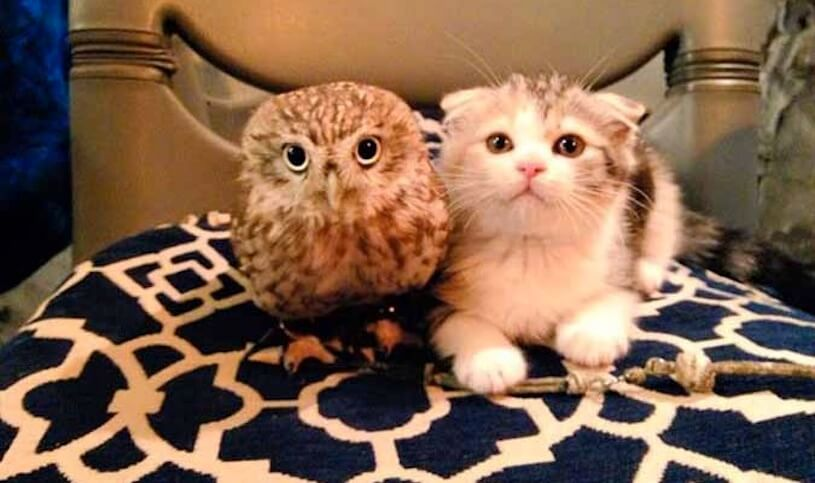 Kitten and Owl Are Unlikely Best Friends (VIDEO)