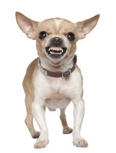 Aggressive Small Dog