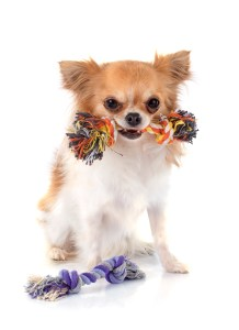 Dog with Toy Playing