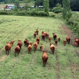 Gakwi:yo:h Farms welcomes twenty-five Red Angus cows