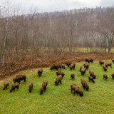 American Bison to find permanent home at Ohi:yo'