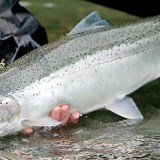 Working together to help protect our Steelhead