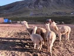 Llama The Ausangate Rainbow Mountains of Peru Apu Winicunca