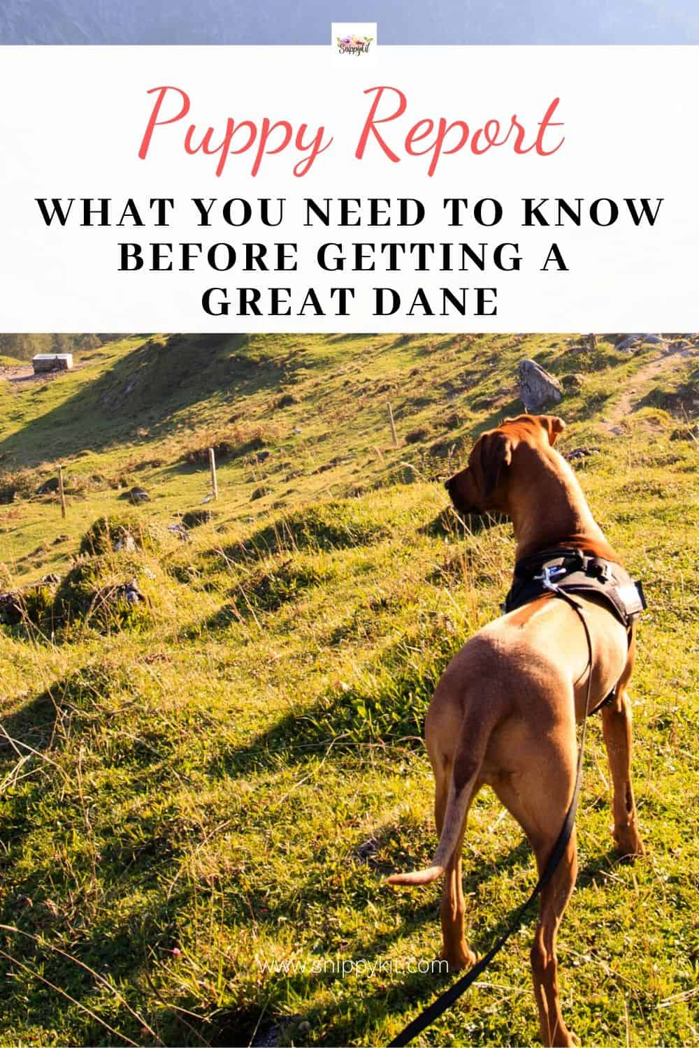 Great Danes are beautiful, gentle giants. They make some of the best family dogs, but there are a few things you need to know about before getting one. Check out these tips on owning a Great Dane.