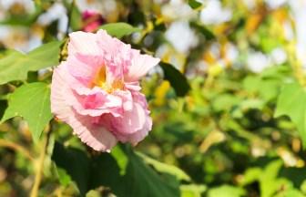 谷戸池。秋の花・酔芙蓉(スイフヨウ)