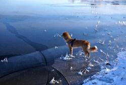 Hunden riskerar på isen