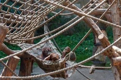 älterer Orang-Utan chillt
