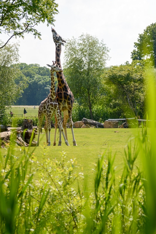Giraffen in der Kiwara-Savanne Foto: Simon Bierwald (Indeed Photography)