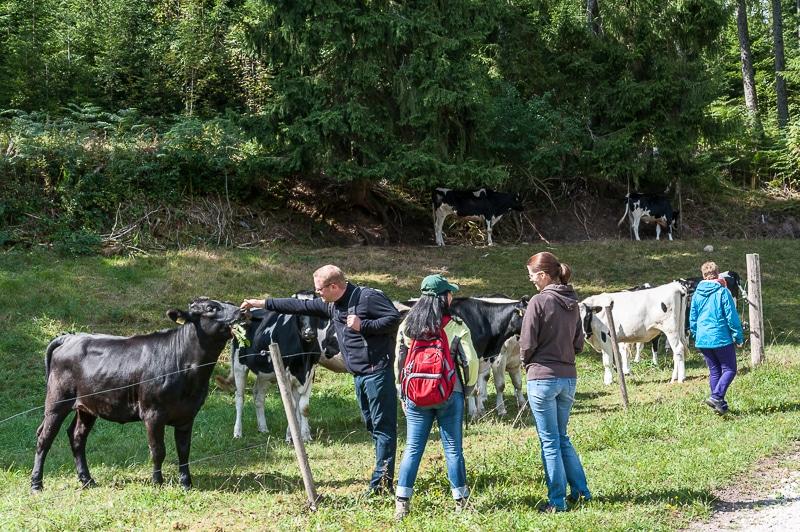 Kühe am Märthesweiher