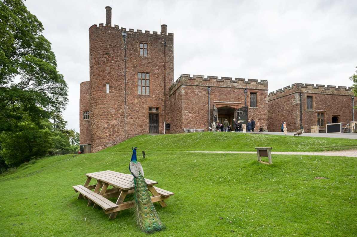 Pfau vor Powis Castle