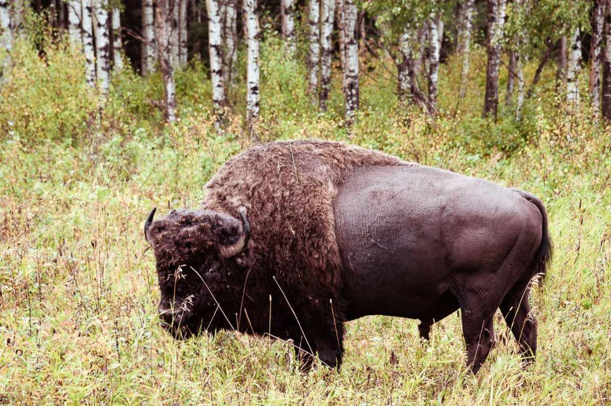 Bison von Nahem, aufgenommen im Riding Mountain Natiional Park mit einem Teleobjektiv.
