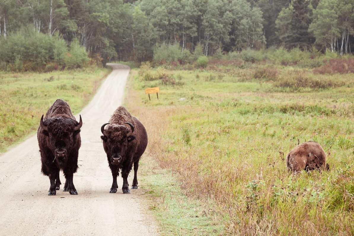 Wer hält dem Blick länger stand? Bisons vor uns starren uns an.