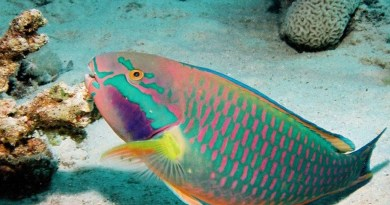 Reef saver parrotfish keep the coral alive