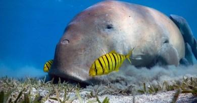 Marsa Mubarak – Marsa Alam – Snorkeling with dugong and turtles