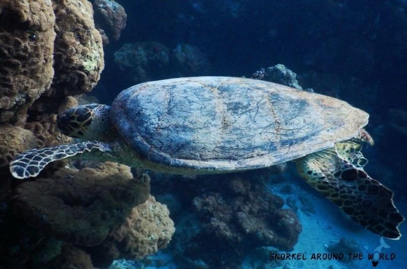 Marsa Alam Abu Dabbab -Turtle