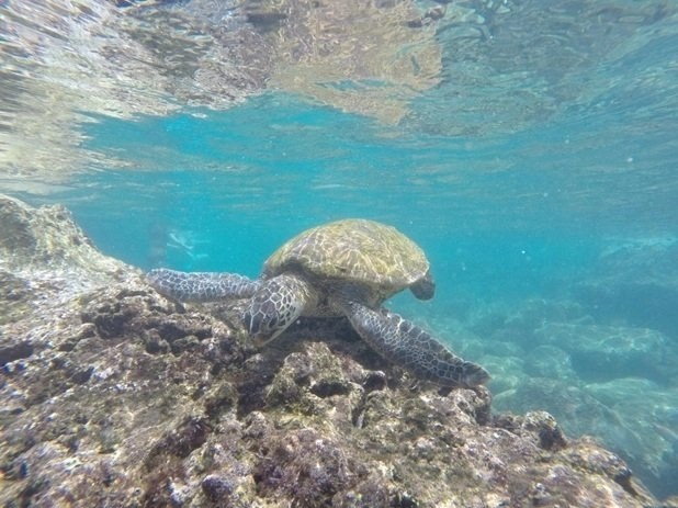 kaiona beach turtle