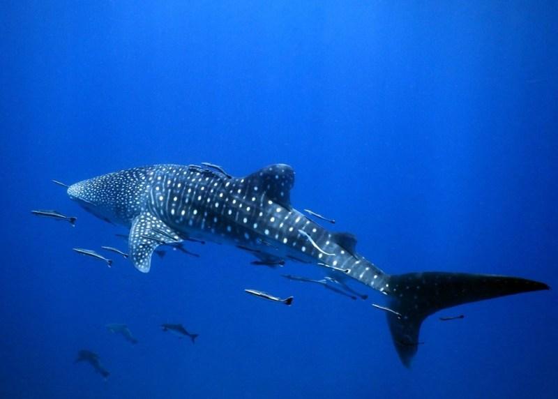 Whale shark on Koh tao