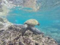 snorkeling-with-sea-turtles-oahu
