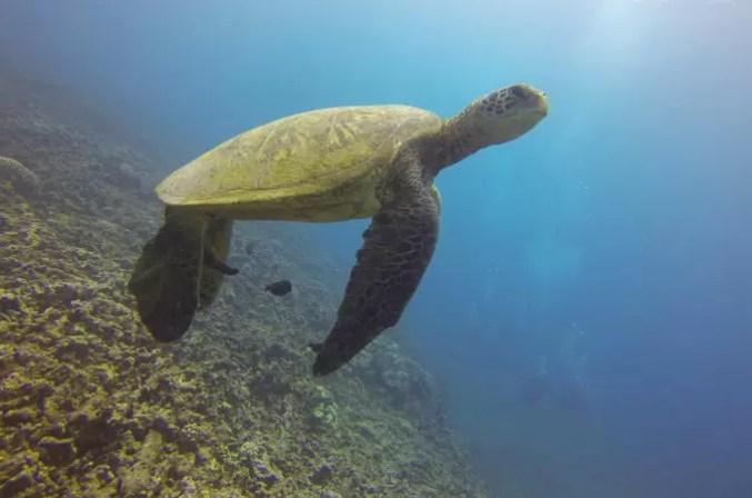 sea turtle in Hawaii waters