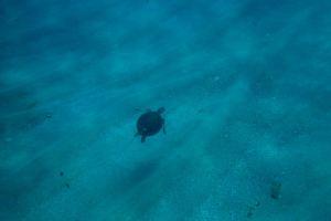 Green Turtle Tobago
