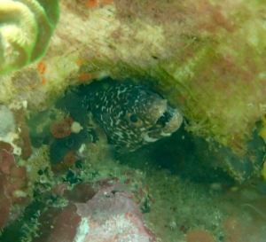 White Spotted Moray Eel