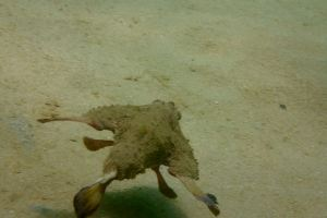 Shortnose Batfish, Tobago