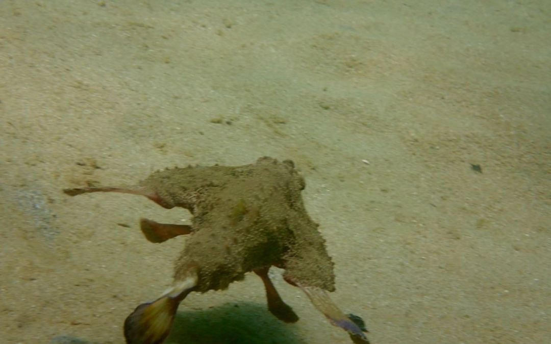 The Shortnose Batfish