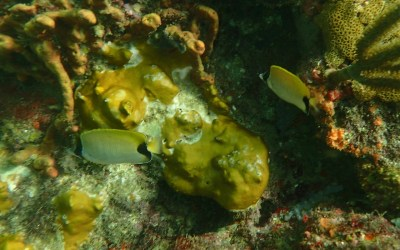 Rare Reef Butterflyfish in Tobago