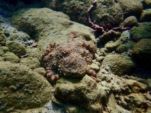 Octopus Zoe snorkeling tobago
