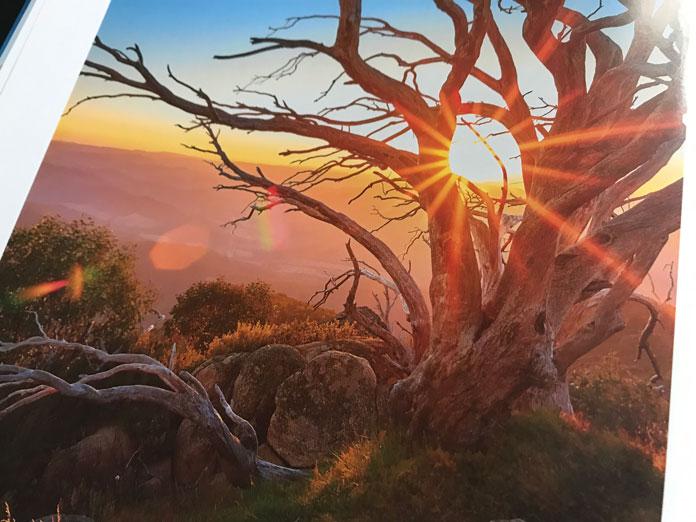 Sunset snowgum on  the summit of Mt Buffalo Victoria