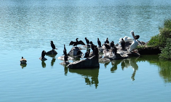 White Pelicans and Cormorants