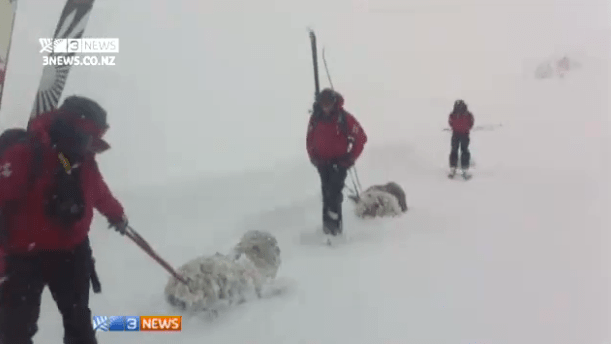 Sheep being rescued by patrol in Treble Cone