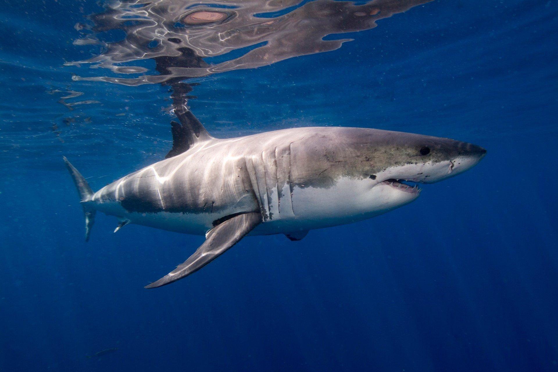 Pacific Coast Great White Shark Report