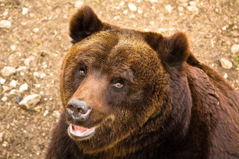 brown bear, italy,