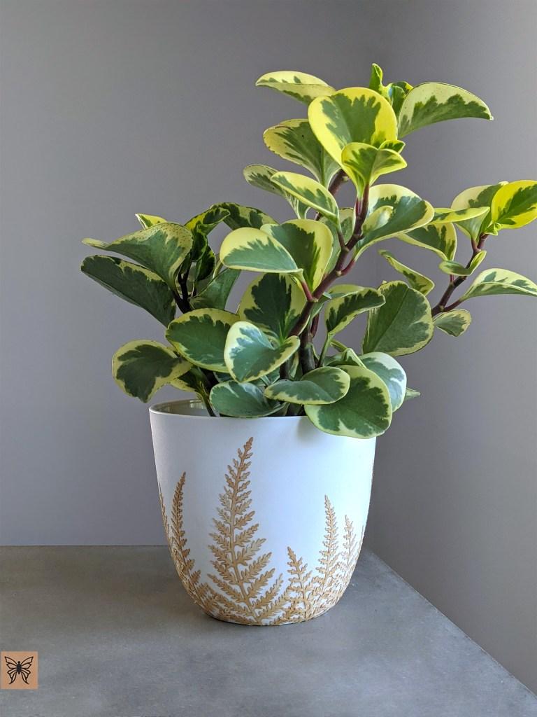 peperomia plant in decoupage planter pots