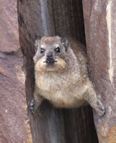 Dassie or Rock Hyrax (Procavia capensis)