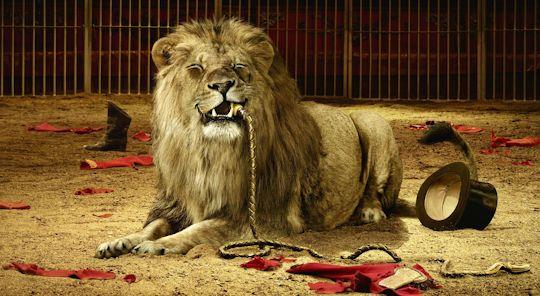 Bad lion tamer, good wallpaper.
