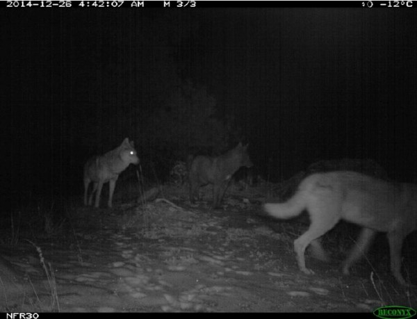 a pack of wolves in Pakistan's Diamer District