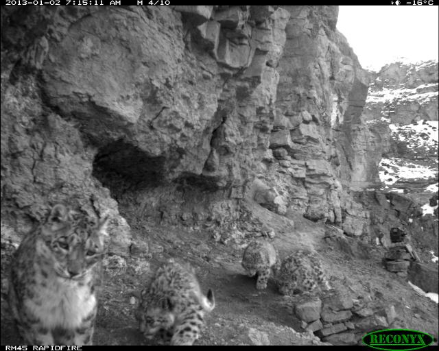 a snow leopard family, pictured in early 2013