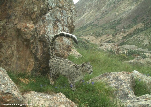The first-ever snow leopard population monitoring program in Kyrgyzstan was made possible by Snow Leopard Vodka