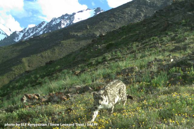 A wild snow leopard is on the prowl in Shamshy Wildlife Sanctuary, Kyrgyzstan. Photo by SLF Kyrgyzstan / Snow Leopard Trust / SAEPF