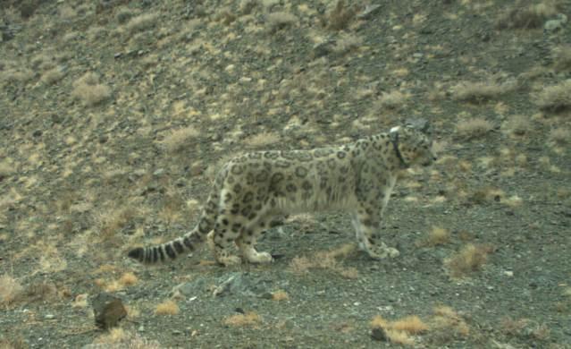 wild snow leopard camouflage