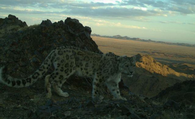 snow leopard at dusk