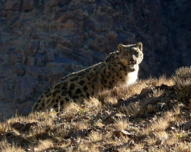 wild snow leopard climbing up a hill looking back toward the camera