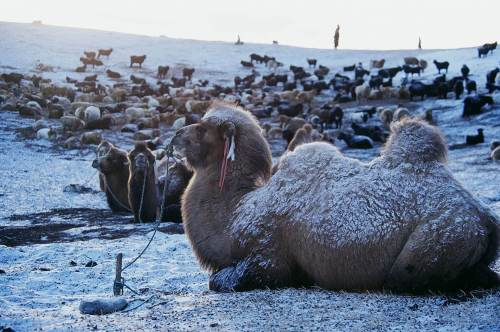 Camels and other livestock in the snow