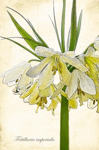 Fritillaria - after