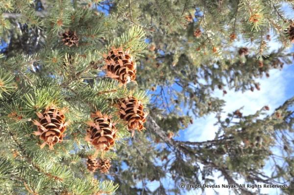 Pine cones - a squirrel's favorite food!