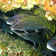 atalnte specie marine sicilia-1