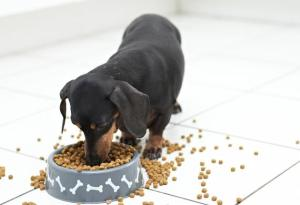 dachshund-dog-food-shutterstock_97458137