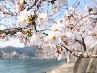 琵琶湖海津大崎の桜